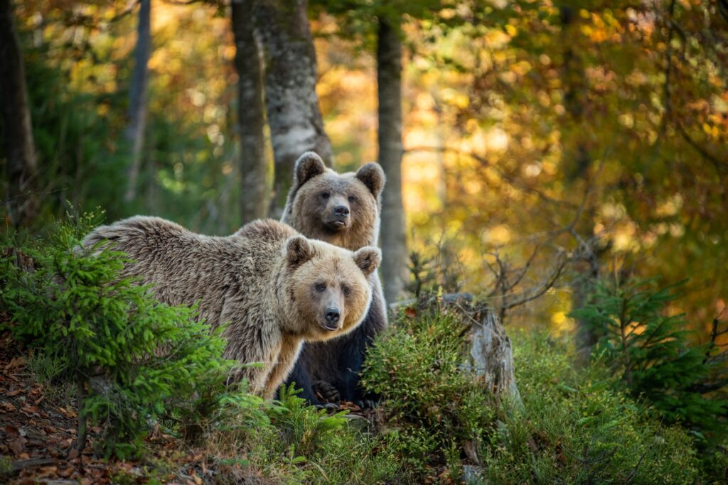 Brown bears in forest
